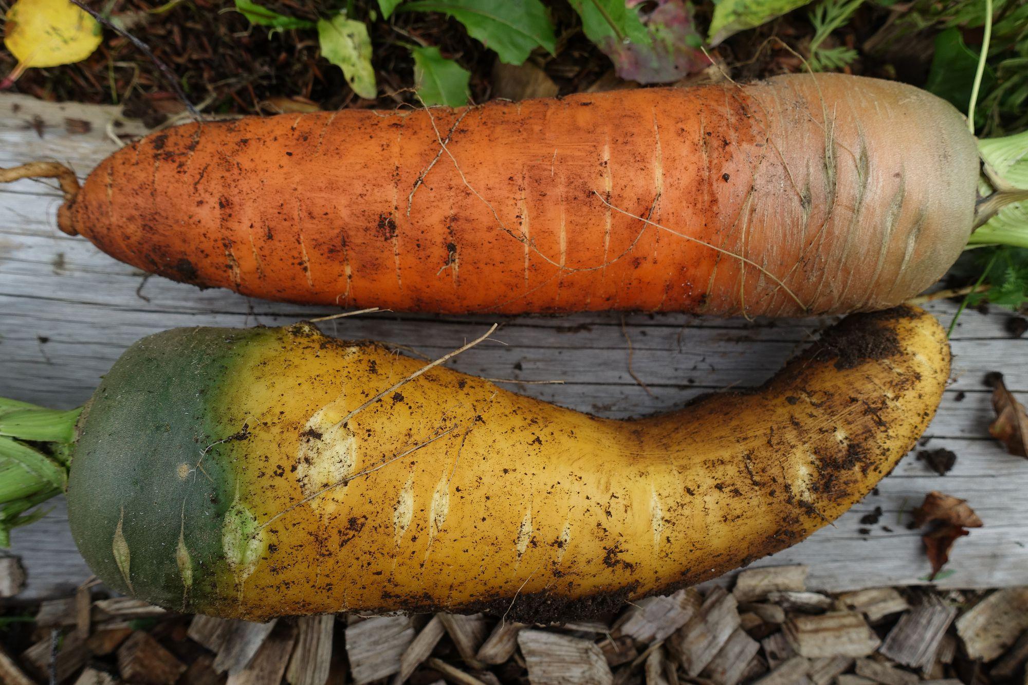 Jättestora morötter i gult och orange