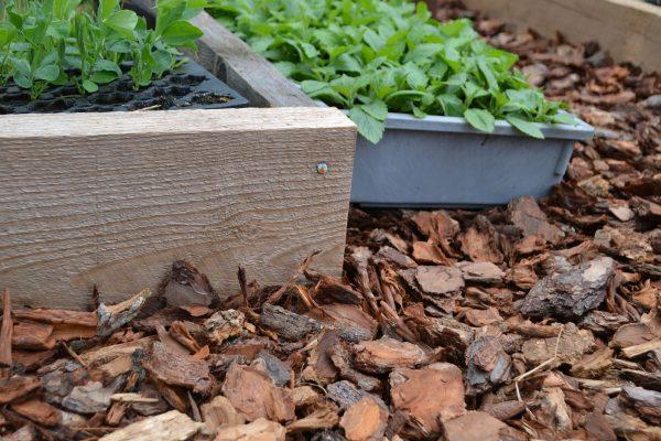 bark på marken runt odlingsramar i tunnelväxthuset.