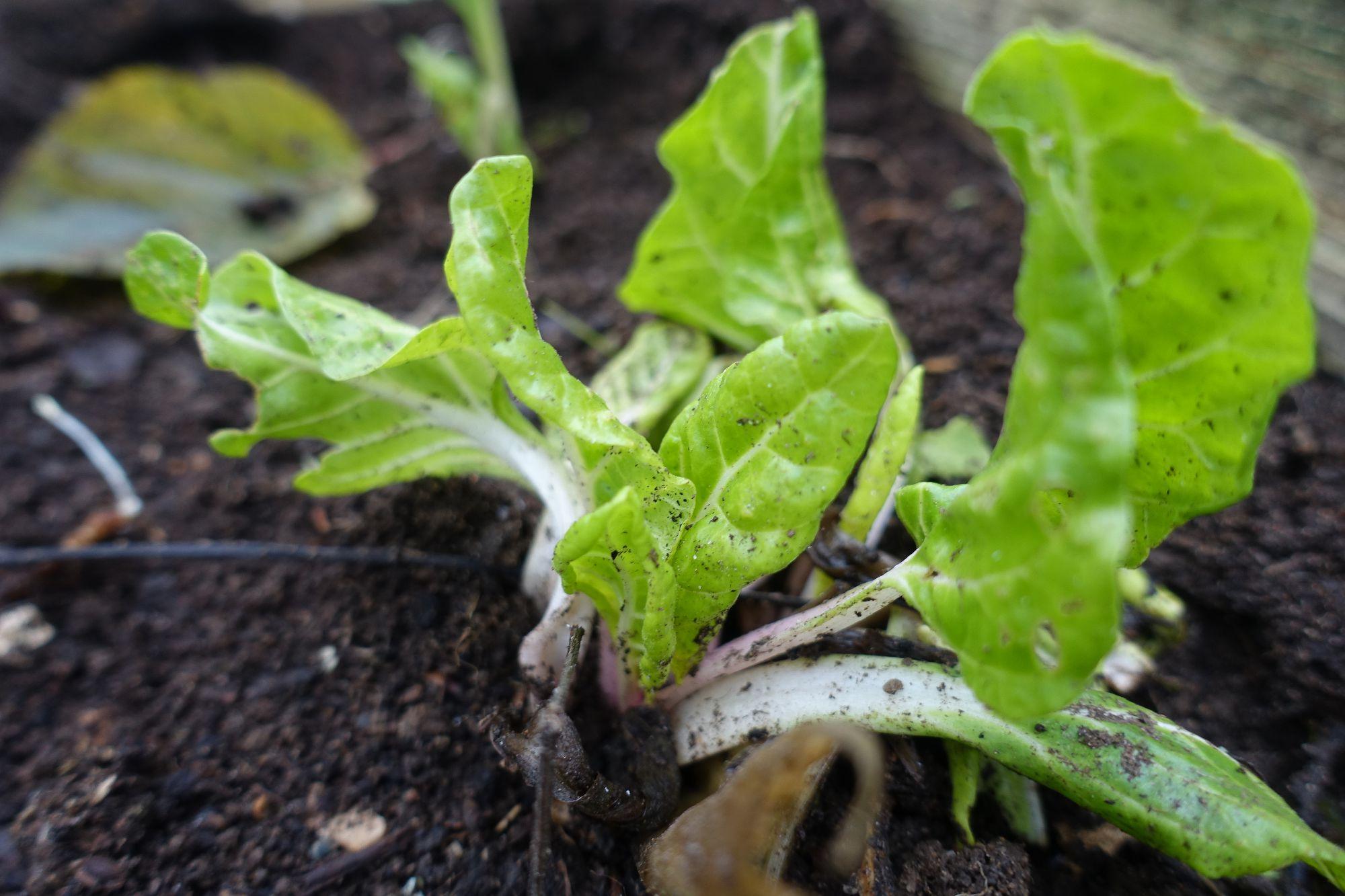Närbild på späd planta mangold.