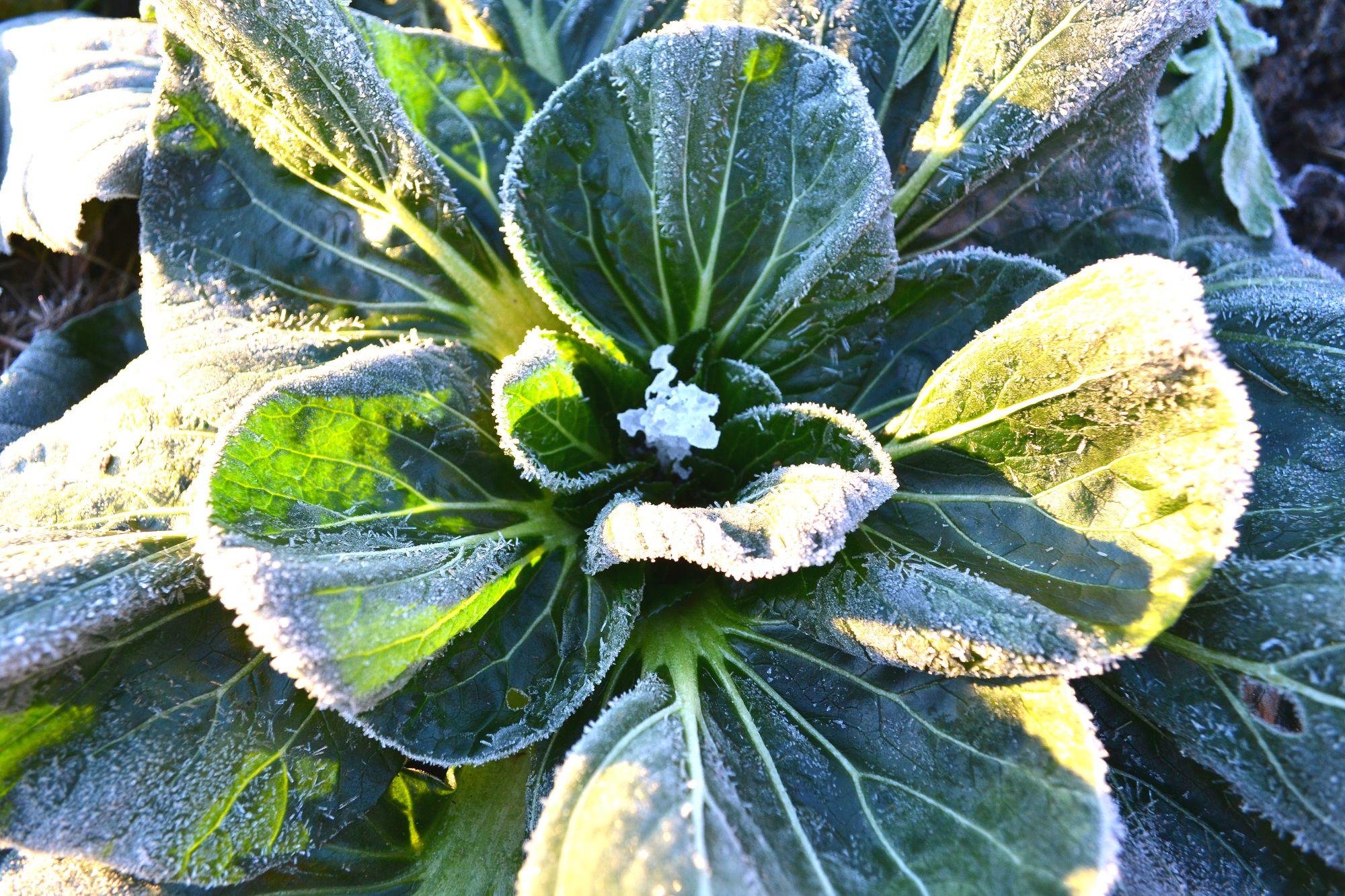 En frusen bladkål, tatsoi, i soligt vinterväder.
