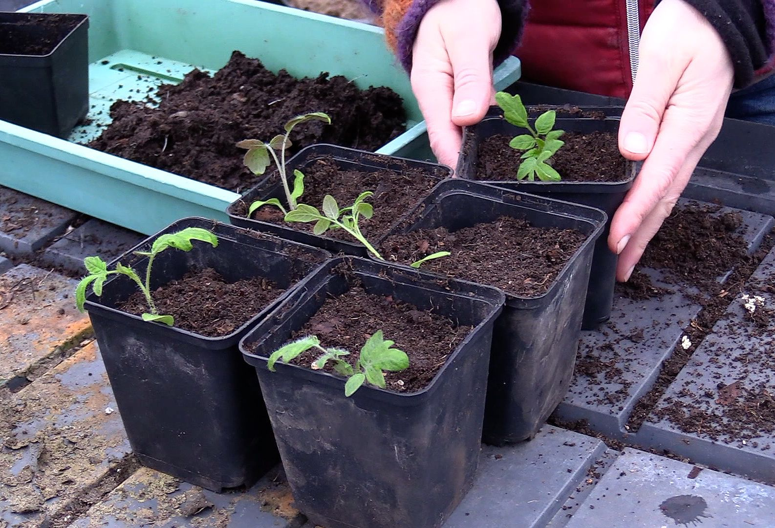 Bild på små krukor med nyplanterade tomater.