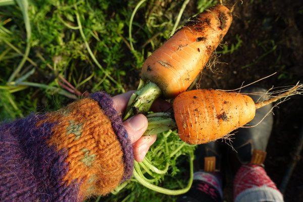 En hand håller två korta knubbiga morötter.