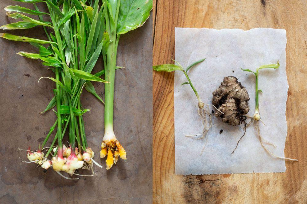 gurkmeja färsk eller torkad